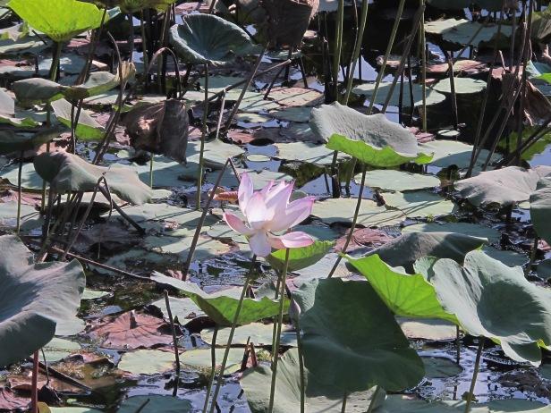 Beautiful Lotus at Lotus Lake (behind Con Son town)